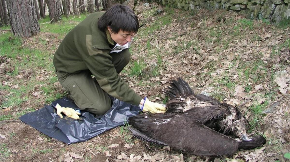 Levantamiento del cadáver de un buitre negro presuntamente muerto por envenenamiento.